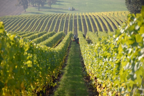 vineyard-002